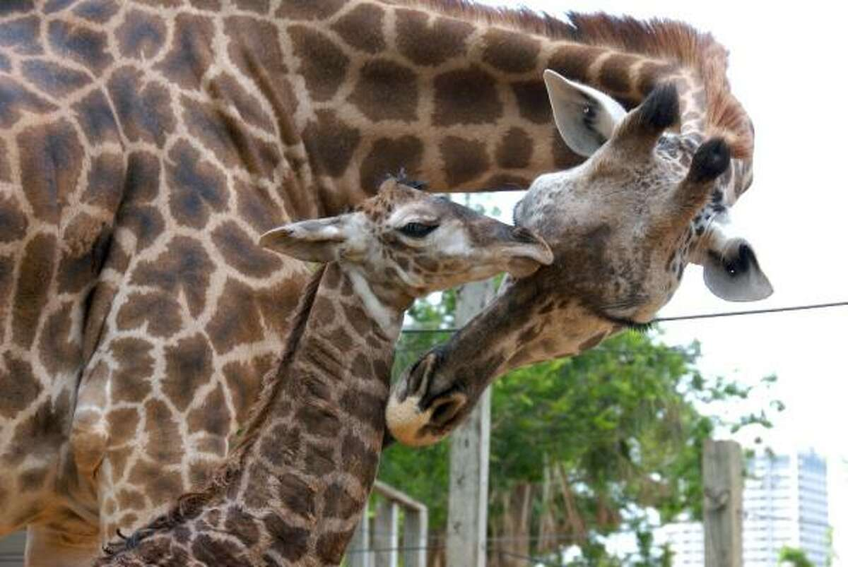 Giraffes are the tallest living terrestrial animal. The average male is about 17 feet tall and can weigh 3,000 pounds, while an average female is over 14 feet tall. On average, Masai giraffes weigh between 125 and 150 pounds at birth and stand approximately 6 feet tall.