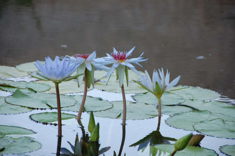 The Master Class suites look out over a lagoon filled with water lilies. Photo: Melissa Ward Aguilar, Houston Chronicle
