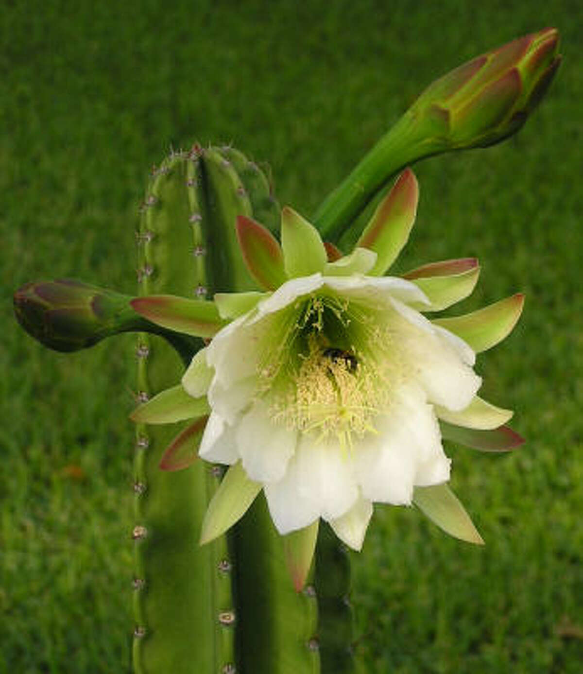 Many agree that the night-blooming cereus, like this cereus peruvianus, is a plain-Jane plant that's not much to see by day. But the after-hours show each summer is a crowd-pleaser. Night beauties keep it cool | Submit your garden photos | Houston Plant Database | HoustonGrows.com