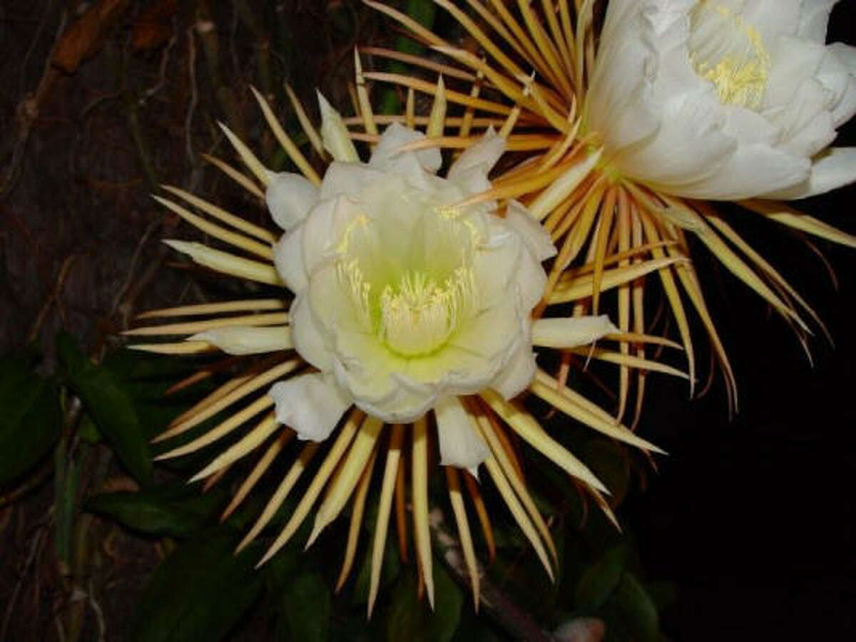 The night-blooming cereus is also known as: queen of the night, lily of the night and orchid cactuses. The stems can tower to 6 feet with curious, long and thick flower stems that have also prompted the name dutchman's pipe cactus. Night beauties keep it cool | Submit your garden photos | Houston Plant Database | HoustonGrows.com