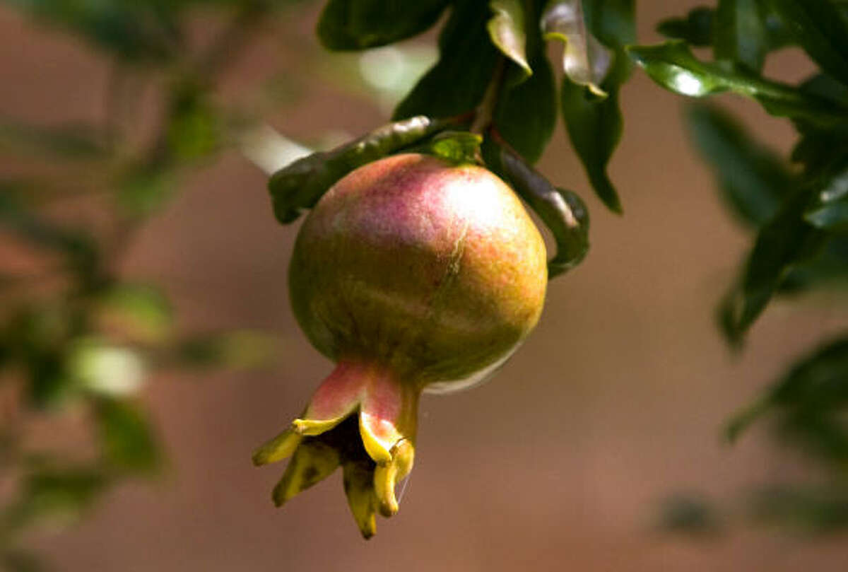 A pomegranate hangs from a branch inside the orchard behind the Governor's Palace in Colonial Williamsburg.