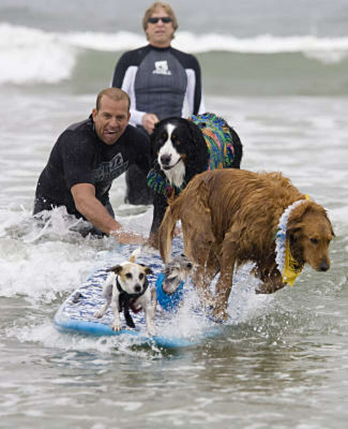 Professional surfer Scott Chandler pushes a surfboard of dogs into a wave.