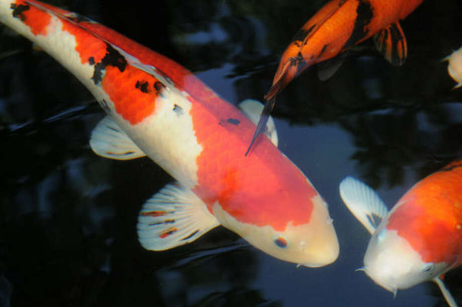 Water gardens houston chronicle for Koi pond the woodlands tx