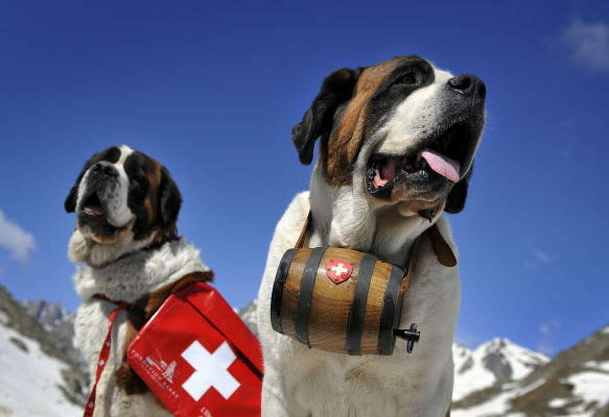 Saint Bernard dogs Katy and Salsa arrive for the summer season at Great Saint Bernard mountain pass.