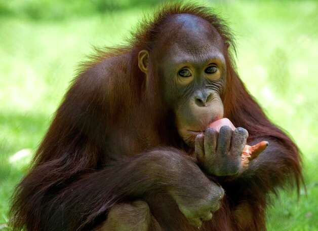 Kasih, a five-year-old Bornean Orangtan, eats a frozen snack on Wednesday, Aug. 3, 2011, at the Phoenix Zoo in Phoenix. Photo: Matt York/Associated Press / AP