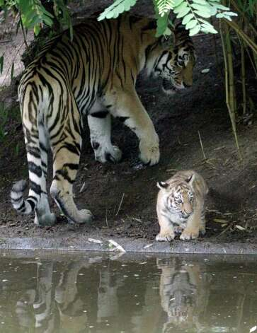 A newborn Siberian tiger cub and its mother, Gisa (left), check out the water at the enclosure of the Zoo in Duisburg, Germany, on Friday, Aug. 5, 2011. Worldwide are only 200 tigers left in the wilderness of Siberia. Photo: Frank Augstein/Associated Press / AP