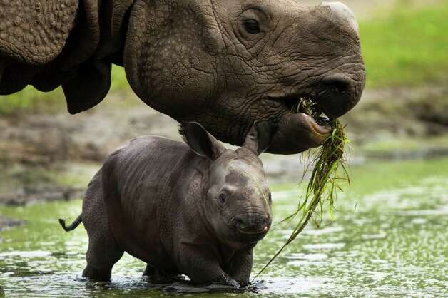 Betty the Indian rhinoceros (top) and her newborn cub take a bath in a mud hole at the Tierpark (Animal Park) Zoo in Berlin on Friday, Aug. 5, 2011. The cub, who has not yet been named, was born on July 31 and presented to the public on Friday. Photo: Markus Schreiber/Associated Press / AP
