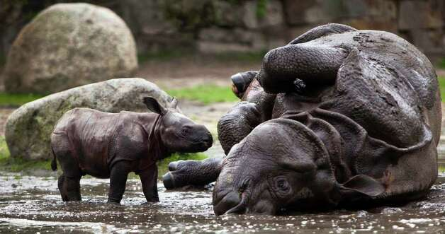 Betty the Indian rhinoceros (right) and her newborn cub take a bath in a mud hole at the Tierpark (Animal Park) Zoo in Berlin on Friday, Aug. 5, 2011. The cub, who has not yet been named, was born on July 31 and presented to the public on Friday. Photo: Markus Schreiber/Associated Press / AP