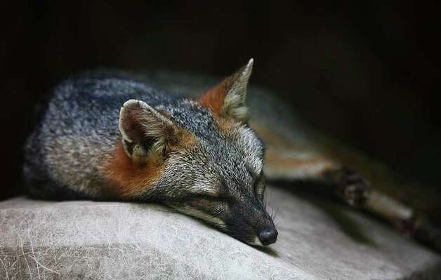 A gray fox naps in the shade on a rock at Lynnwood Park Zoo in Jacksonville, N.C. on Friday, Aug. 5, 2011. Napping is one way wildlife copes with the heat. Photo: AP Photo/The Jacksonville Daily News,  John Althouse