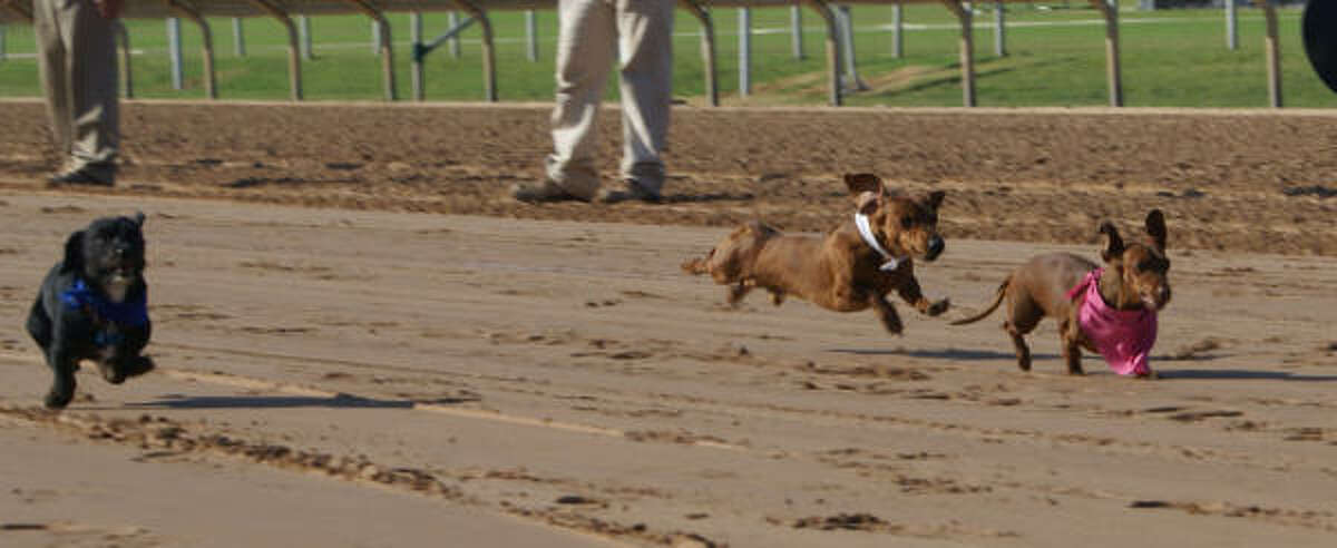 Three dachshunds head down the track in the second heat of the Wiener Dog Races at Sam houston Race Park on Saturday.