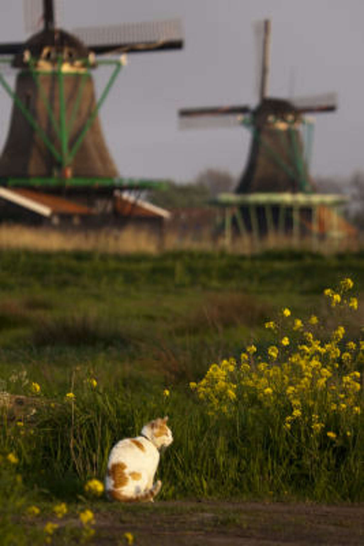 A cat takes in some evening sunshine amidst windmills at Zaanse Schans.