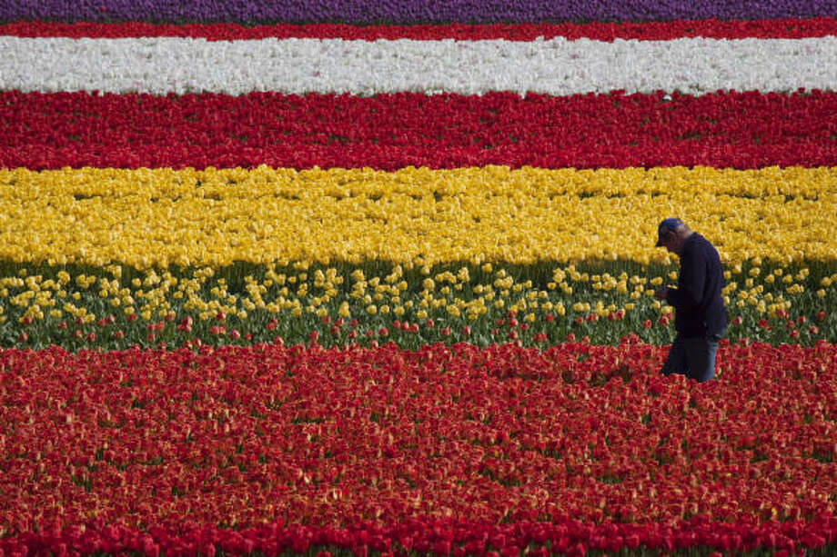 A grower walks through fields of flowers in Lisse, Netherlands.The bulb region of Holland stretches between the historic cities of Leiden and Haarlem, the sandy soil and cool weather a perfect place to grow flower bulbs. Photo: Smiley N. Pool, Chronicle
