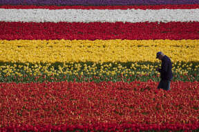A grower walks through fields of flowers in Lisse, Netherlands.The bulb region of Holland stretches between the historic cities of Leiden and Haarlem, the sandy soil and cool weather a perfect place to grow flower bulbs.