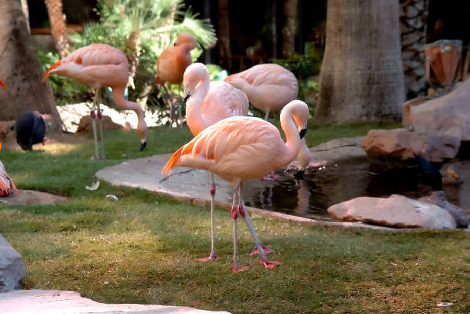 One of the free attractions in Las Vegas is viewing the flamingos at the at the wildlife habitat at Flamingo Las Vegas. Photo: Las Vegas News Bureau