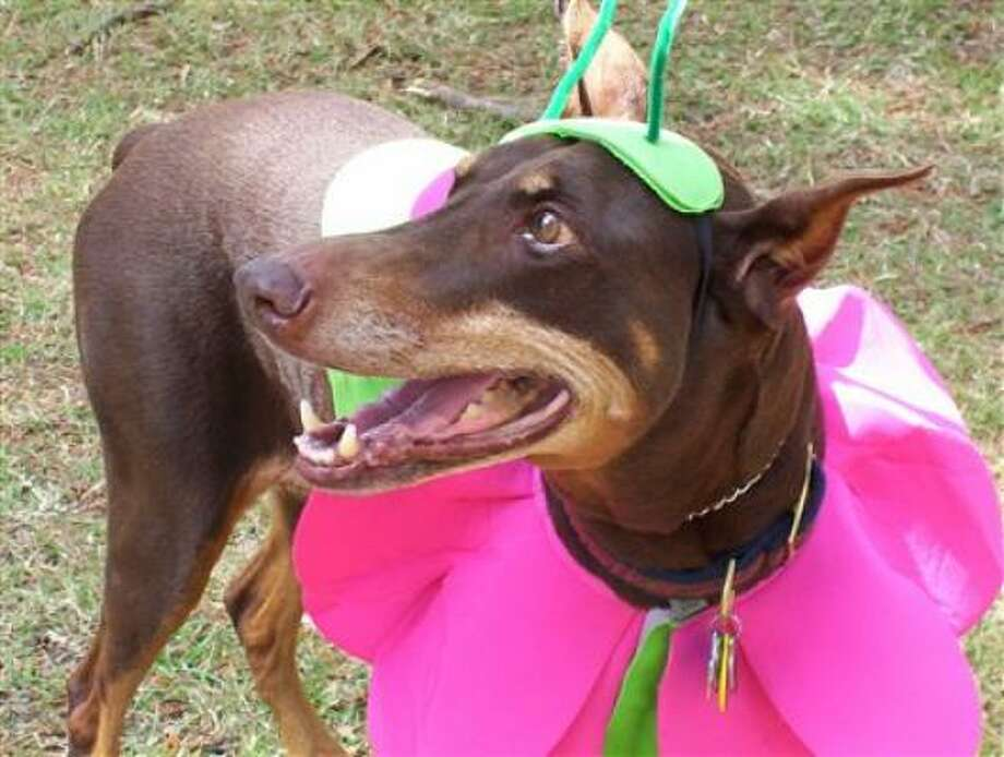 Andie won first place Doberfest 2009 Photo: Nanfran, PetsHouston.com
