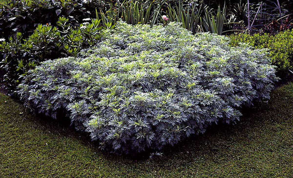 ARTEMISIA: Repels snakes, aphids, flea beetles, flies, moths, slugs and snails. Lazy Gardener on herbs | Database herbs | Idea gallery: Veggies & herbs | HoustonGrows.com
