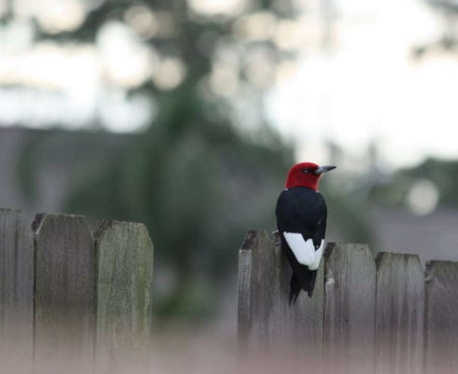 Red-headed woodpecker More: Submit your garden photos | Houston Plant Database | HoustonGrows.com Photo: Presbybeth, Chron.commons