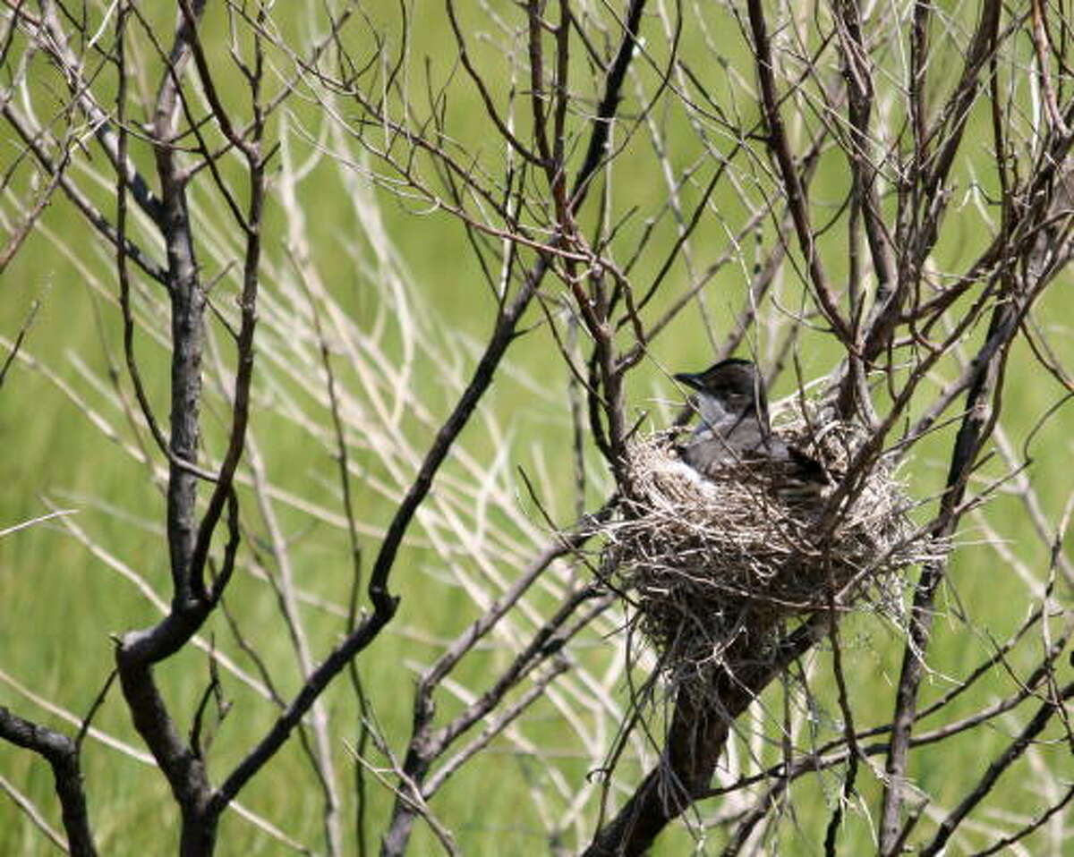 Female kingbird at Anahuac Wildlife Refuge May 25, 2009 More: Submit your garden photos | Houston Plant Database | HoustonGrows.com