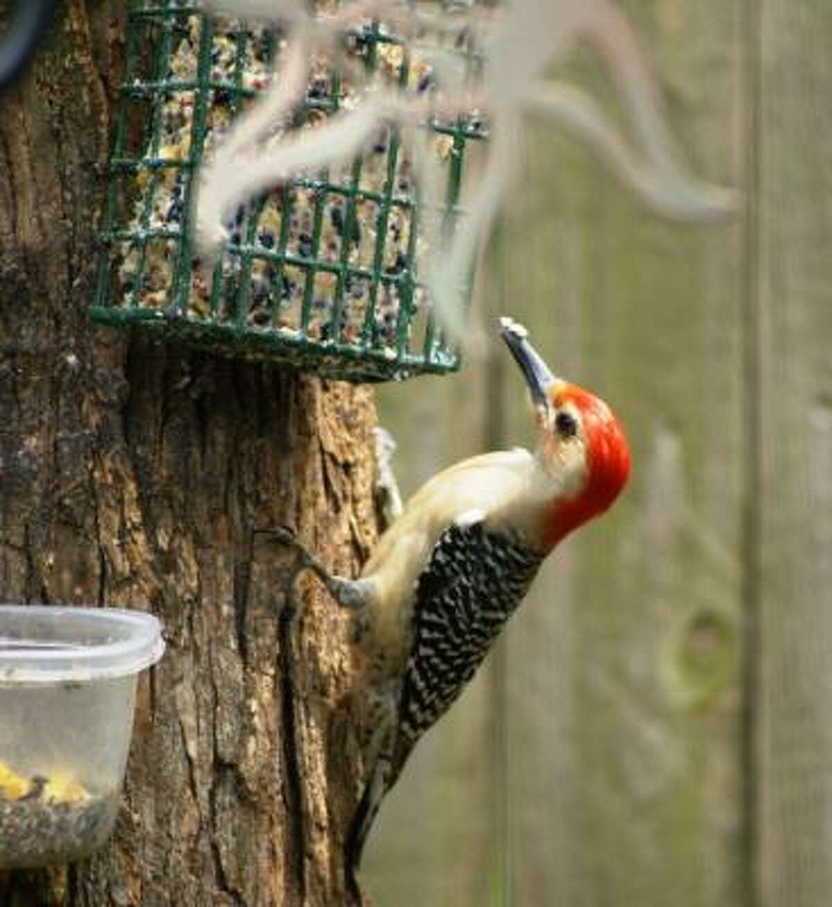 Red-bellied woodpecker (male) More: Submit your garden photos | Houston Plant Database | HoustonGrows.com