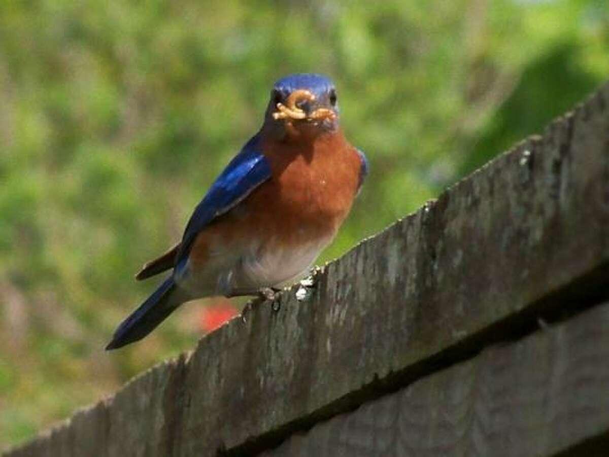 Bluebird More: Submit your garden photos | Houston Plant Database | HoustonGrows.com