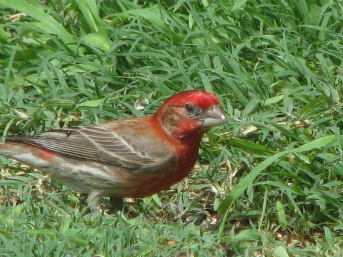 Red house finch More: Submit your garden photos | Houston Plant Database | HoustonGrows.com