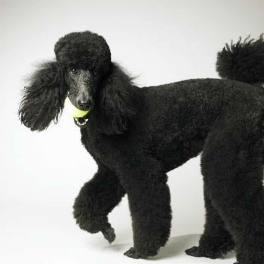 1970s Poodles of all colors have the top spot locked up but in a harbinger of things to come, the Labrador retriever makes the top 10 for the first time.Related story Photo: Amanda Jones