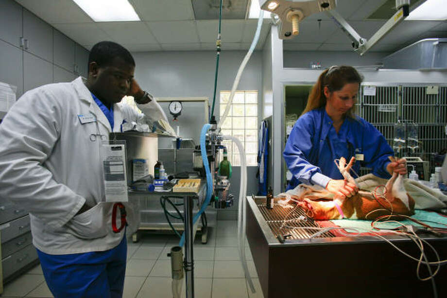 Veterinarian Brian Giles (left) looks on while tech Sandra Shaner cleans the teeth of a rat terrier at VCA Southwest Animal Hospital. The hospital and the Houston Society for the Prevention of Cruelty to Animals are working to get the puppies prepared for new homes. Photo: Michael Paulsen, Chronicle