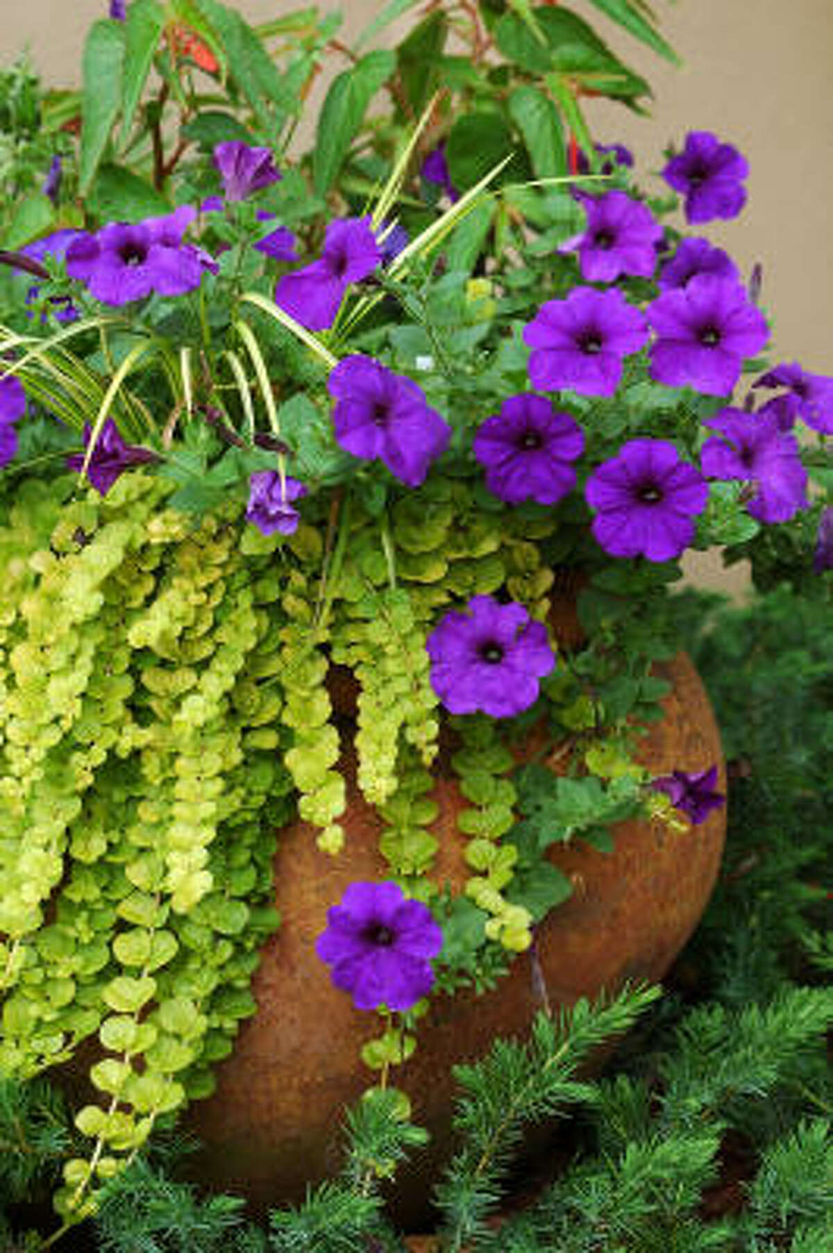 Goldilocks (Lysimachia nummularia) a bright, lime green spreading plant drapes in dramatic fashion over an Old World, European-style container with 'Matrix Blue' pansies and Easy Wave blue petunia.