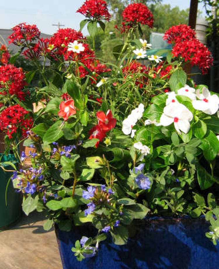 Marian Chau of Buchanan's Native Plants created this patriotic arrangement by using 'Graffiti Deep Red' pentas, white blackfoot daisy, dwarf blue plumbago, blue daze and 'Victory Bright Eye' and 'Victory Apricot' vincas. Photo: BRENDA BEUST SMITH, For The Chronicle