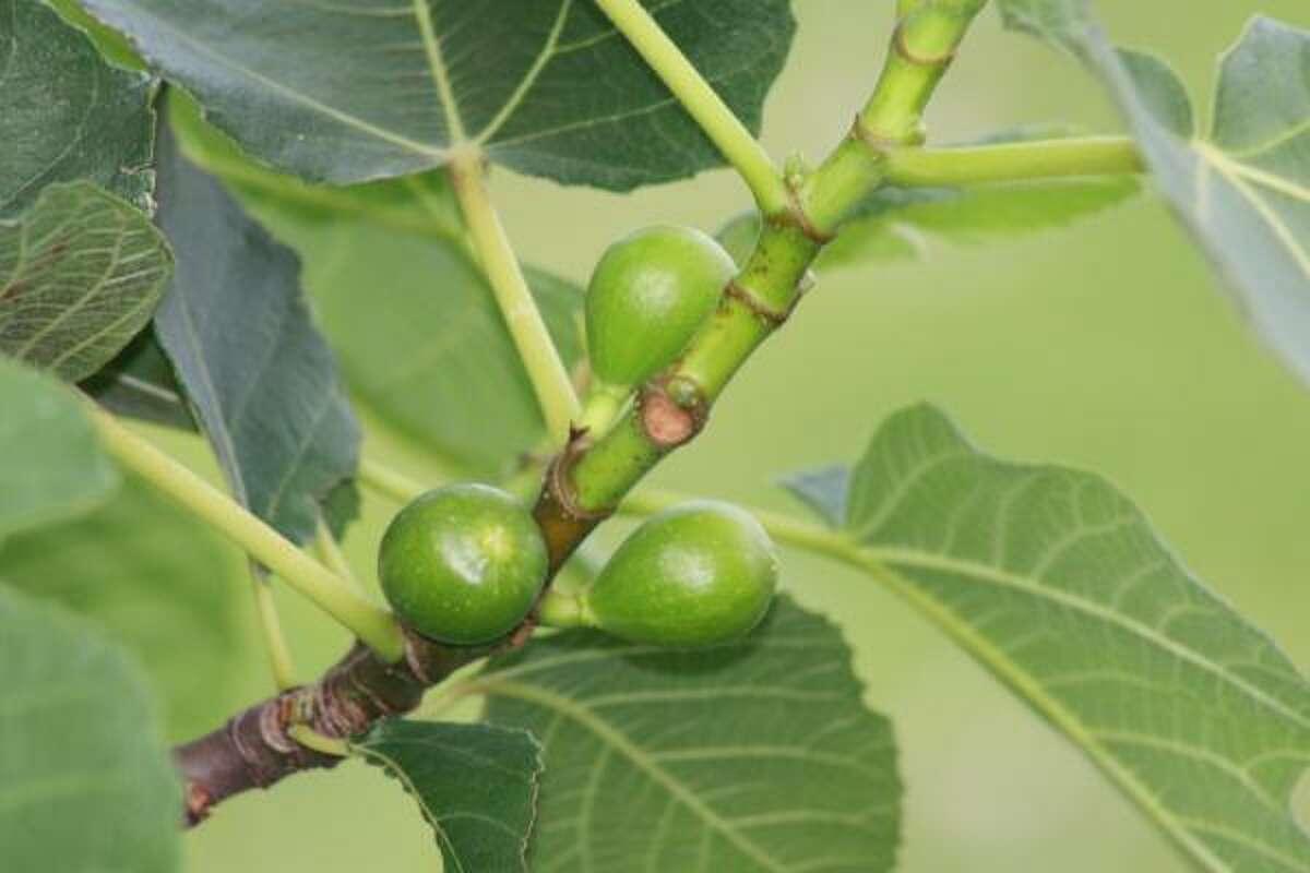 Figs HoustonGrows bloggers: Bananaman   bearkat110   Maggierose   MyCornerofKaty   Plantwoman   rjudd   SirenadelaCompostela   SweetenedBlossoms247...