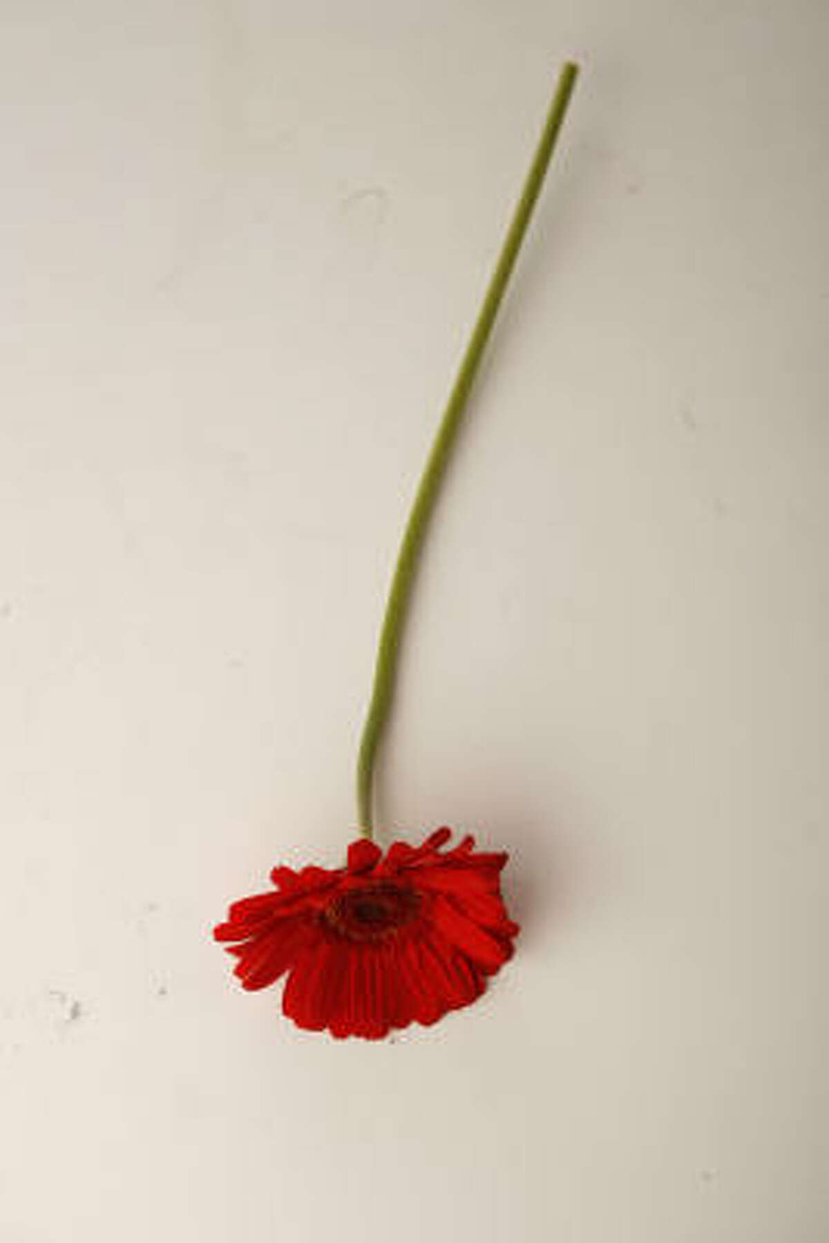 Red Gerbera daisies Supermarket flower tips | Video: Grocery store orchids | Submit your garden photos | HoustonGrows.com