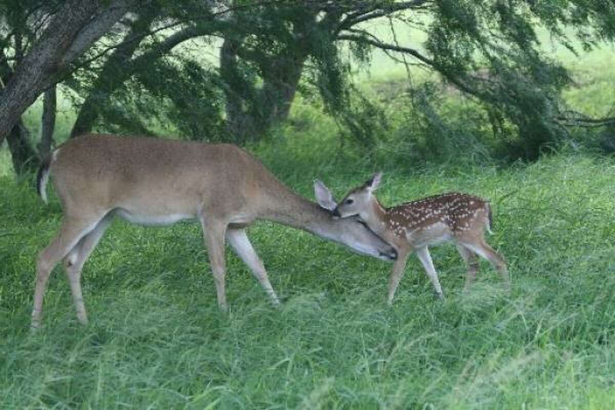 ARE YOU GOING OUT DRESSED LIKE THAT? A whitetail doe attends to her fawn.