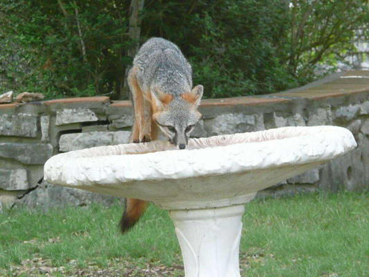 Fox in the birdbath. More: Submit your garden photos | Houston Plant Database | HoustonGrows.com