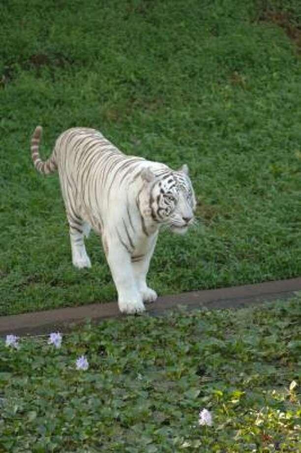 Namaste, a rare white Bengal tiger, is the main draw at Pana'ewa Zoo in Hilo, Hawaii. Photo: Hawaii's Big Island Visitor Bure