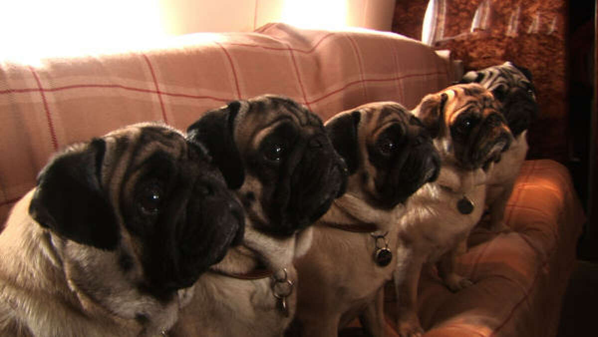 Valentino's five pugs travel with him on a private airplane.