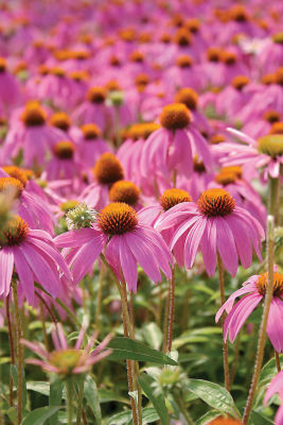 'Kim's Knee-High' Echinacea or coneflower More: Gregarious coneflowers | Submit your garden photos | Houston Plant Database | HoustonGrows.com