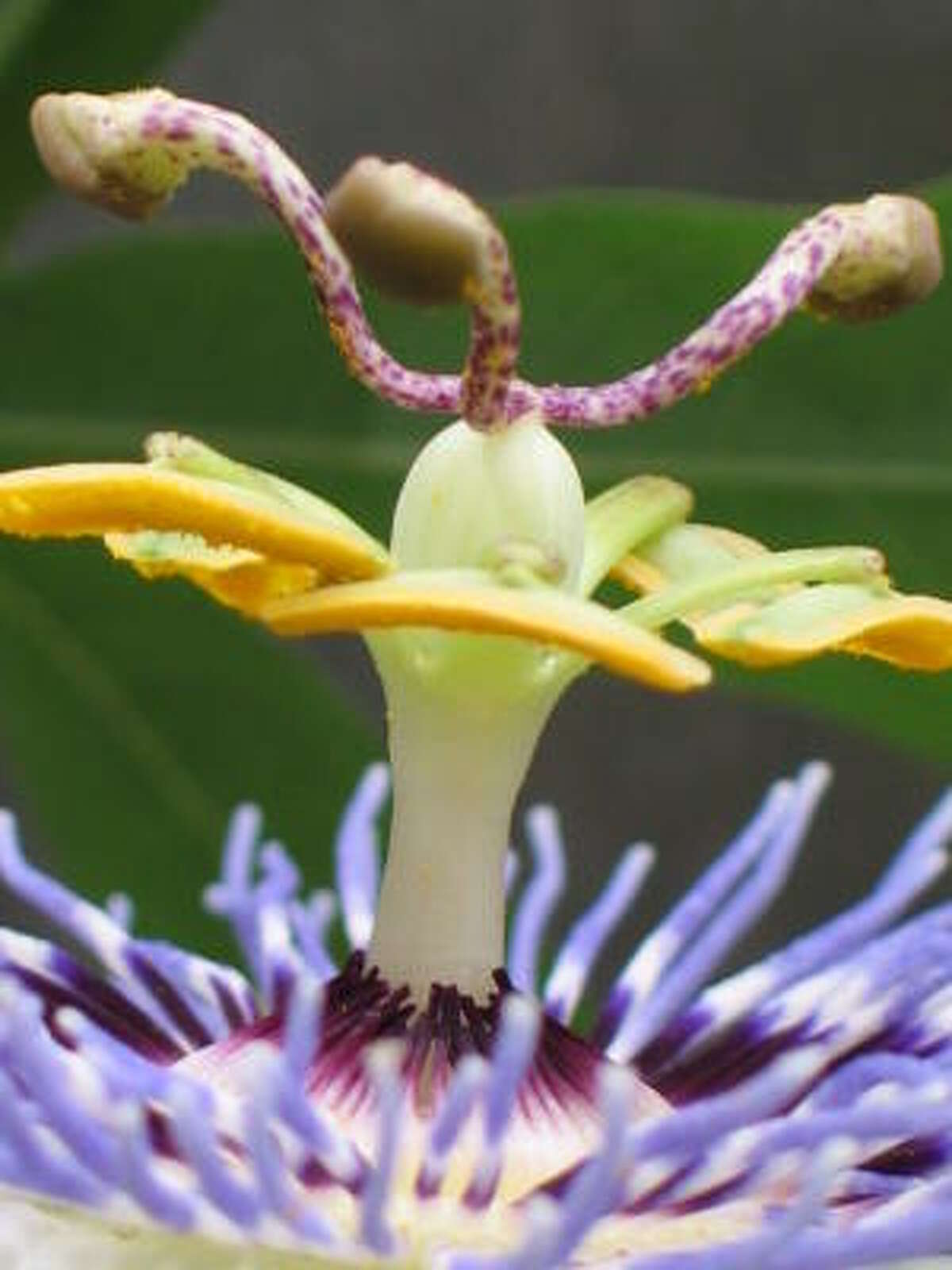 Passionflower closeup. Database passionflowers | Lazy Gardener on passiflora | HoustonGrows.com