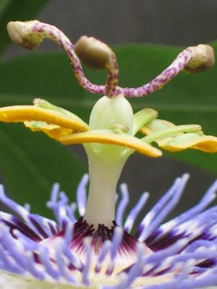 Passionflower closeup. Database passionflowers | Lazy Gardener on passiflora  | HoustonGrows.com Photo: Bkf, Chron.commons