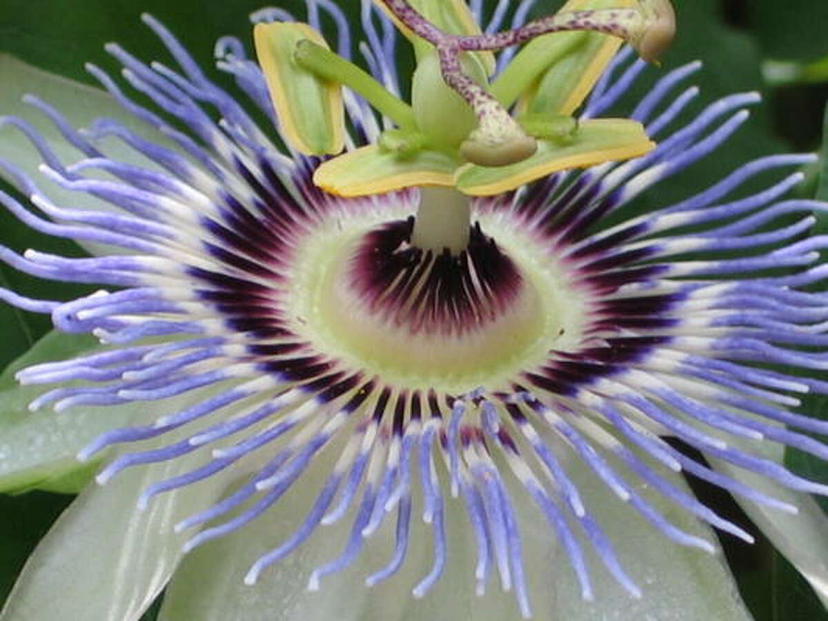 Passionflower Database passionflowers | Lazy Gardener on passiflora | HoustonGrows.com