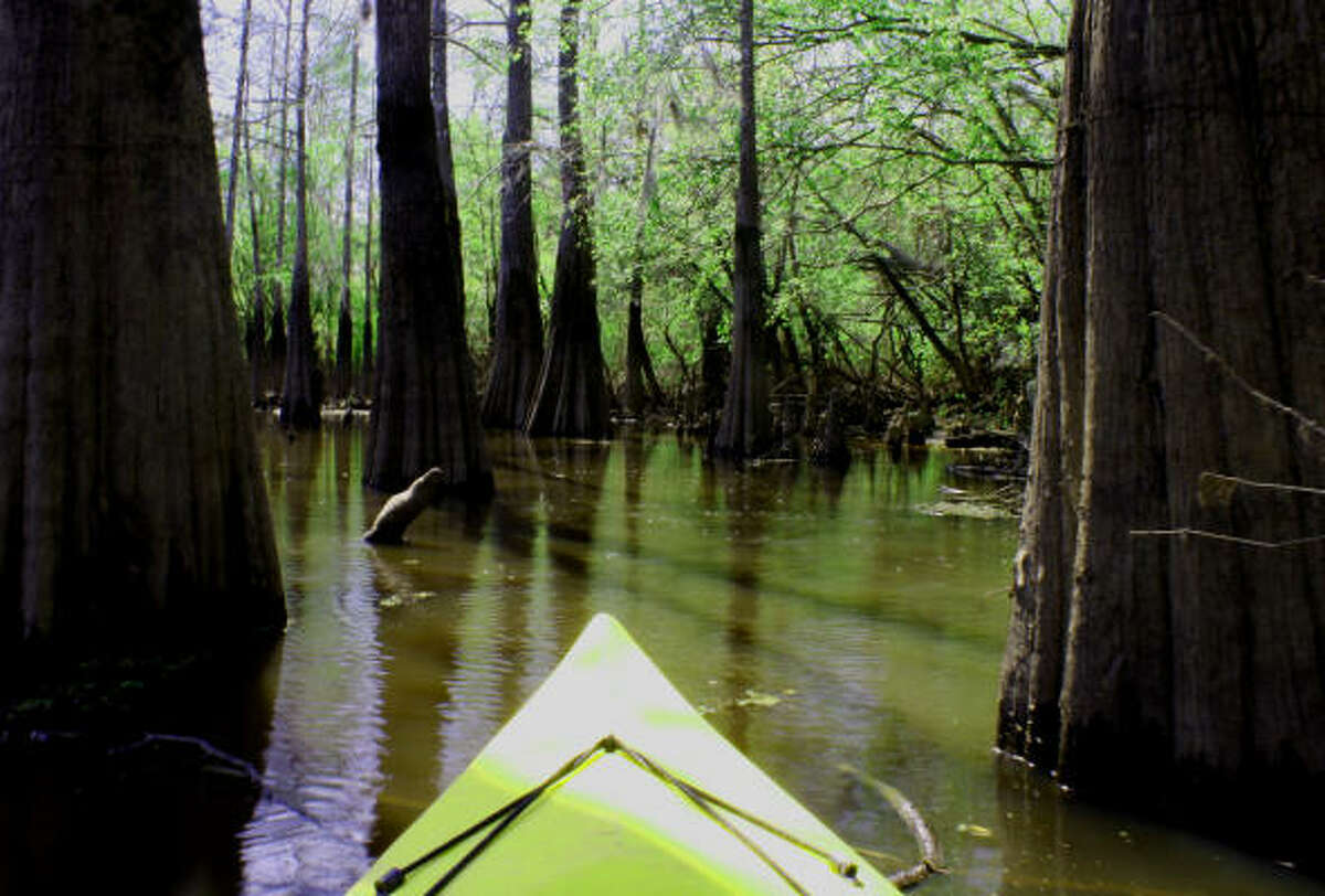 A kayak is the best way to explore cypress-tupelo sloughs of the Big Thicket.
