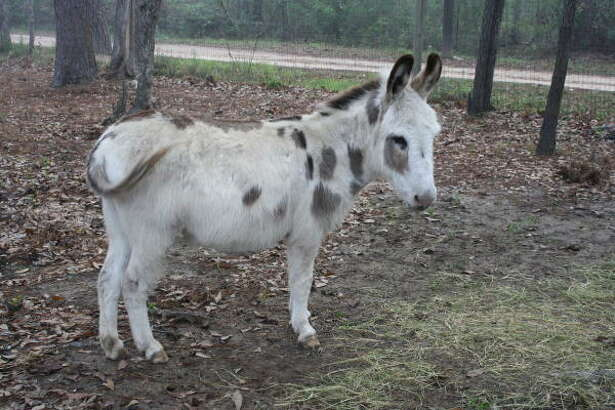A donkey at Indian Springs Campground.