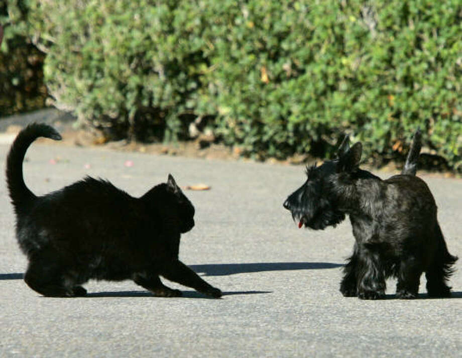Another pet of the last administration, India, squabbles with his Scottie housemate Miss Beazley. The Bushes named India after a former Texas Ranger baseball player, Ruben Sierra, also known as El Indio, but India also went by the name Willie. The name of Miss Beazley's father was Clinton, but that didn't keep the president from presenting the puppy to the first lady as a birthday present. India died in January 2008. Photo: J. SCOTT APPLEWHITE, AP