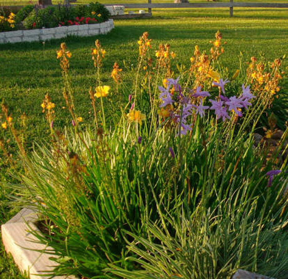 Society garlic, bulbine and 'Stella d'Oro' daylilies. HoustonGrows.com bloggers: Bananaman | Maggierose | MyCornerofKaty | Plantwoman | rjudd | SirenadelaCompostela | SweetenedBlossoms247 | vansli | Yves1019 Photo: Yves1019, Chron.commons