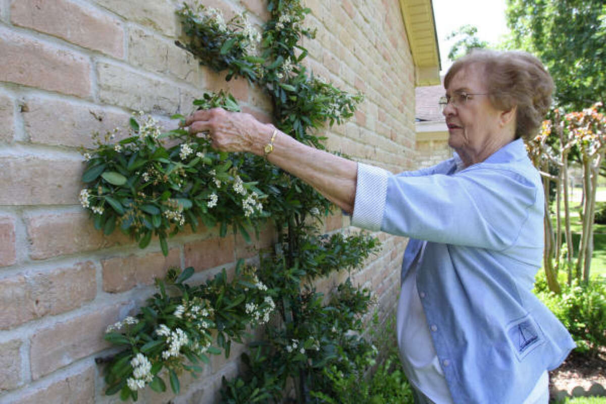 Pat Cooper, a Cimarron resident, trims her pyracanthia vine on the outside of her home.