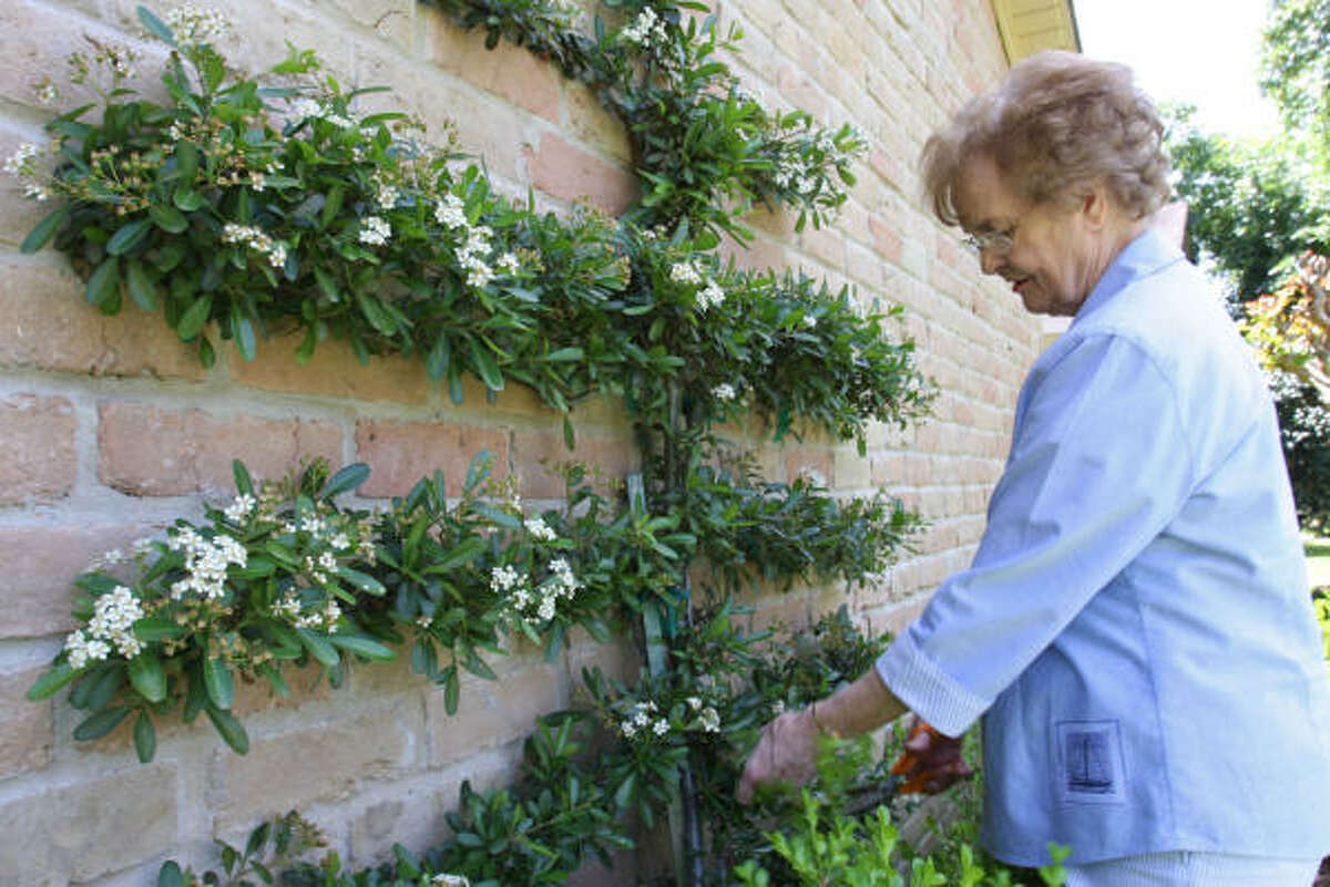 Pat Cooper, a Cimarron resident, trims her pyracanthia vines on the outside of her home.