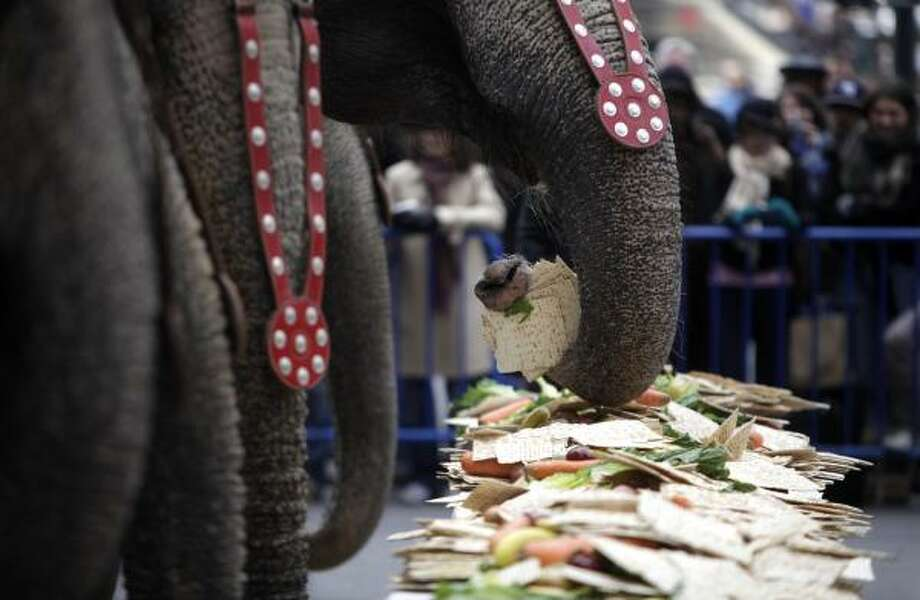Elephants feast on meal of fruits, vegetables and matzoh in honor of the start of the Passover holiday in New York. Photo: Seth Wenig, AP