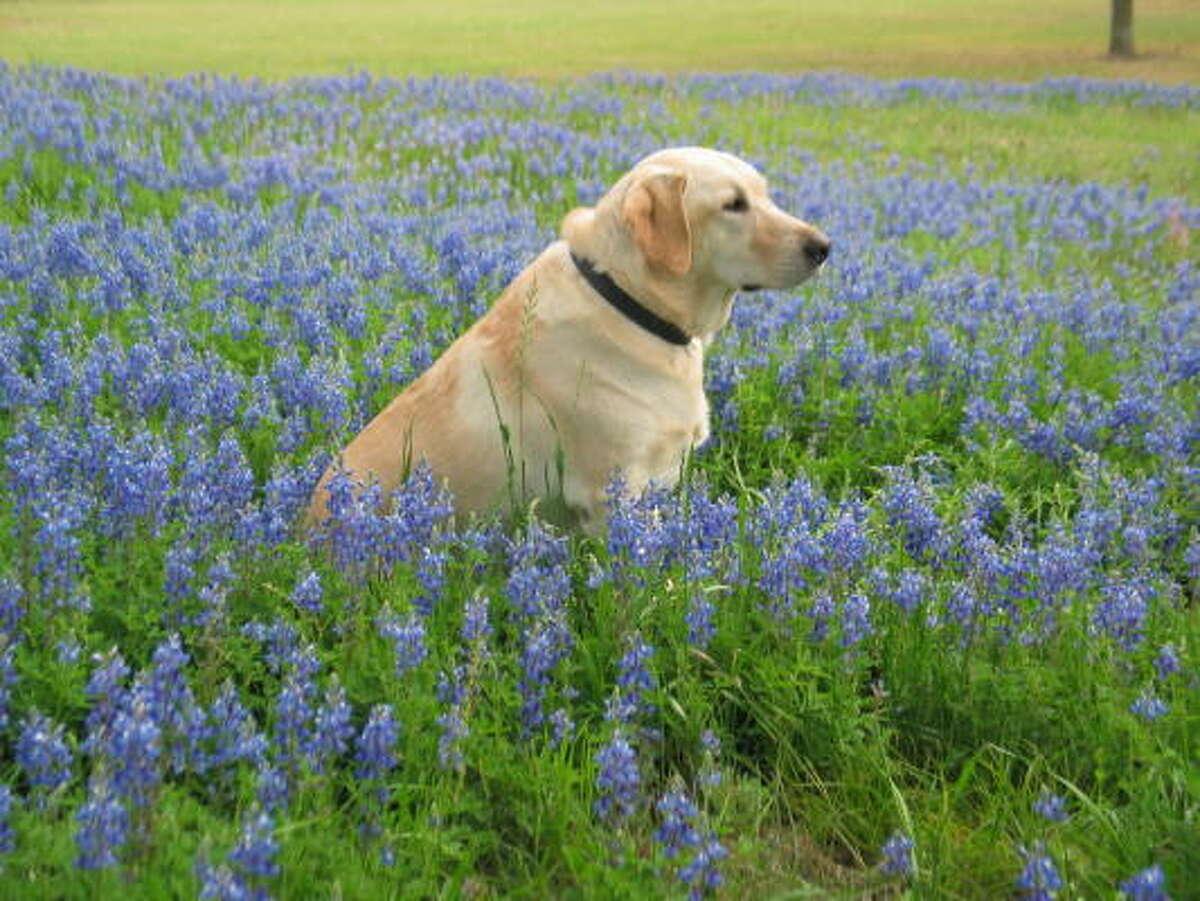 Daisy Mae Williams More: Wildflower map   More Texas wildflowers   Quiz   PetsHouston.com   HoustonGrows.com