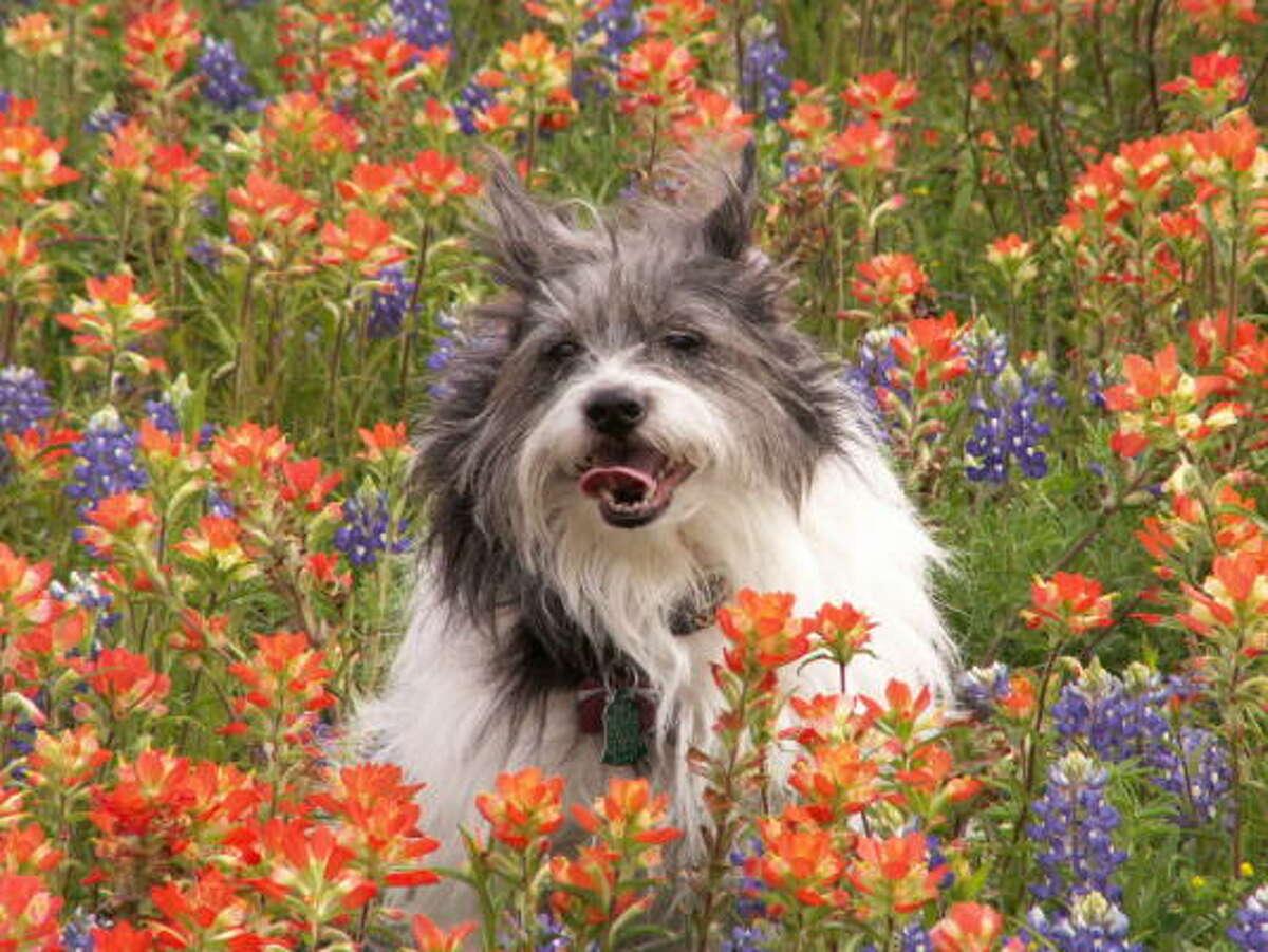 Benji More: Wildflower map   More Texas wildflowers   Quiz   PetsHouston.com   HoustonGrows.com