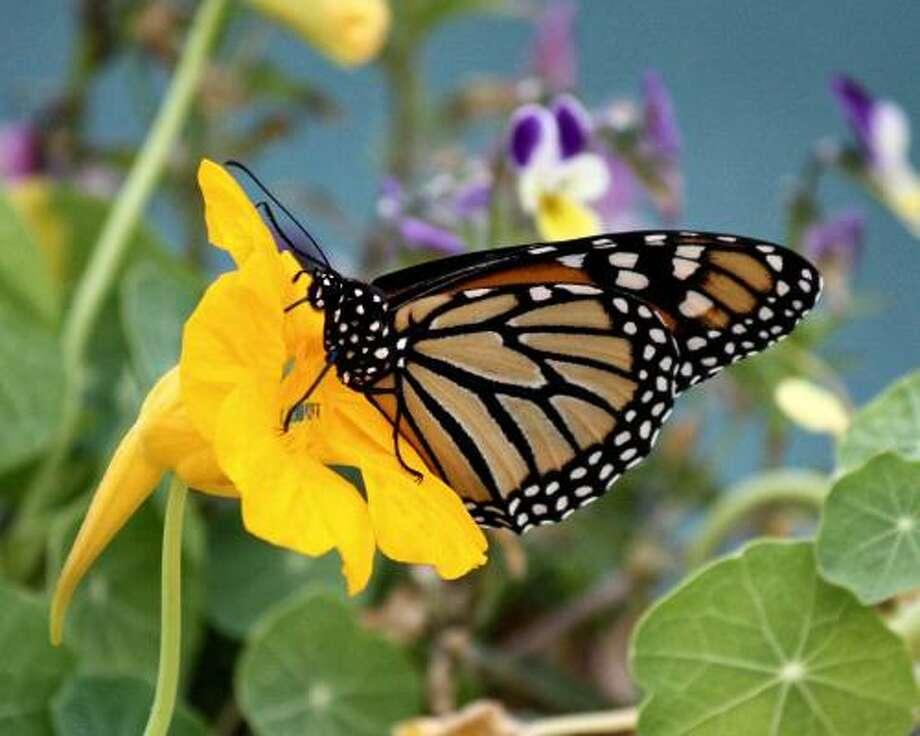 Hello Gorgeous! Monarch in the nasturtiums. More: Wren family gallery |Submit your garden photos | Houston Plant Database | HoustonGrows.com Photo: Maggierose, Chron.commons