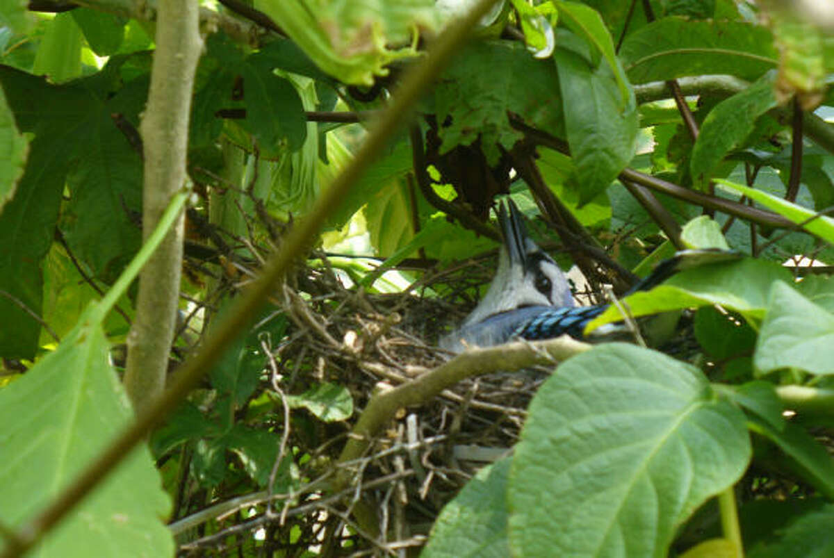 Mama blue jay quietly sits on her nest, while Dad is keeping busy bringing her snacks. More: Wren family gallery |Submit your garden photos | Houston Plant Database | HoustonGrows.com